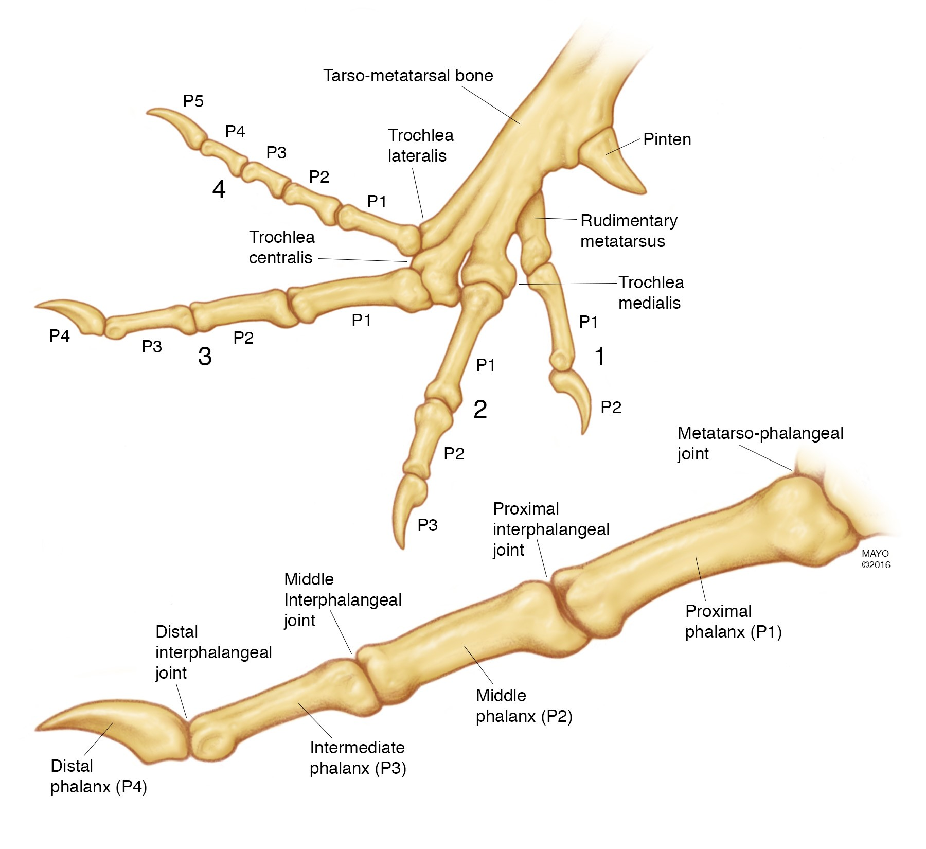 AAHS - Turkey Model for Flexor Tendon Related Research: An Anatomic ...